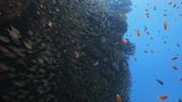 oceânico : shoal of glass fish gathered on the reef