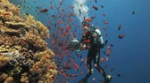 animal : clouds of red anthias with diver in the background Stock Footage