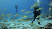 mergulhador : divers behind shoal of goat fish