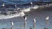 Seagulls are fishing on the beach Stock Footage