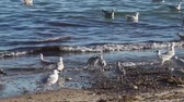 pták : Seagulls looking for food on the beach