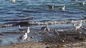 pássaro : Seagulls looking for food on the beach