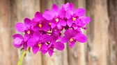 fragility : violet or purple pink orchid flower, HD Stock Footage