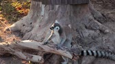 madagaskar : Ring-tailed Lemurs sitting on tree and looking around