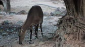 cervidae : Nilgai antelope, science name:Boselaphus tragocamelus, foraging in the woods