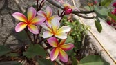 smell : pink and orange plumeria flower, taken on sunny day