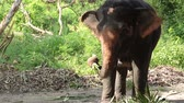 vitela : Asian elephant eat fruit and cane under tree in the forest