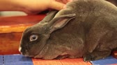 whiskers : Rex Rabbit brown color take care by female hand in HD