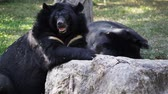 lazily : Asiatic black bear or Tibetan black bear, science names Ursus thibetanus, laying down and relax in HD