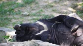 lazily : Asiatic black bear or Tibetan black bear, science names Ursus thibetanus, laying down and relax on the ground, closeup in HD Stock Footage
