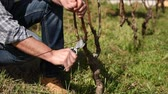 buda : Caucasian farmer working in the vineyard, pruning the vine with professional scissors. Traditional agriculture. Footage Stock Footage