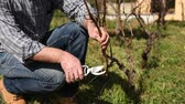 Slow motion caucasian pruning the vine with professional scissors. Traditional agriculture. Footage Stok Video