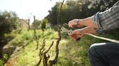 Caucasian farmer working in the vineyard, pruning the vine with professional scissors. Traditional agriculture. Footage Stok Video