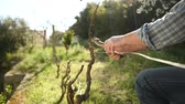 buda : Slow motion caucasian pruning the vine with professional scissors. Traditional agriculture. Footage Stock Footage