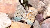 copulate : Couple of Common blue butterflies copulating in spring. Scientific name Polyommatus icaro.
