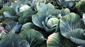 red cabbage : Red cabbage on the field
