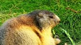 etet : a sociable marmot a sociable is eating in a meadow