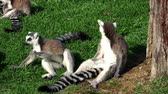 catta : ring-tailed lemurs family