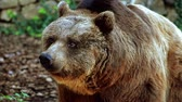 forest : brown bear portrait