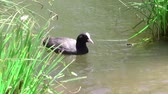 concorrentes : coot at river Stock Footage