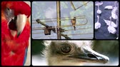 struś : Different species of birds collage Wideo