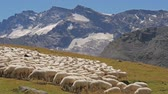 meal : beautiful alpine panorama with sheep flock in a sunny day