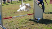 domestic : dog in action in agility competition slow motion Stock Footage