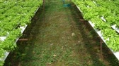 berçário : Organic farm with agriculture vegetable hydroponic. organic vegetable is business agriculture growing