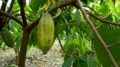 lusk : Cacao Tree (Theobroma cacao). Organic cocoa fruit pods in nature.