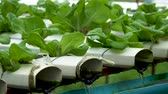 mudas : Organic farm with agriculture vegetable hydroponic. organic vegetable is business agriculture growing