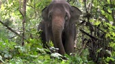 elefante : Los elefantes en la hierba. Elephant World Sunctuary, Tailandia Archivo de Video