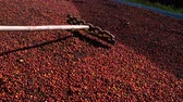 coffee growing : Fresh Arabica coffee berries . Organic coffee farm Stock Footage