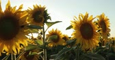 sunflower field : Beautiful Sunflowers In The Field Natural Background, Sunflower Blooming. Sunny Day Prores, Slow Motion Stock Footage