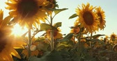 sunflower field : Wonderful Panoramic View Field Of Sunflowers By Summertime. Prores, Slow Motion Stock Footage