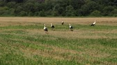 gólya : Stork On The Field Looking For Food. Storks Walk Through A Plowed Field. Birds Flew Home In The Spring. Prores, Slow Motion