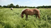 paardrijden : Beautiful, pedigree, well-groomed brown and white with a bridle of horses graze on the enclosed area and eat green grass. On background of the trees and houses of German city. Wide angle, slow motion