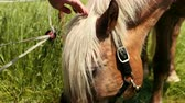 cabeza de caballo : Beautiful, well-groomed horse with black bridle eating grass, male hand strokes light horse mane. Close up. Prores, slow motion