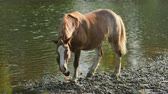 veulen : very nice horse brown, grazing by the river, standing on the shore, drinking water, the stream flows, around the magnificent nature, on a summer day, Sunny weather, slow motion