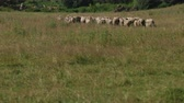 목자 : many white and gray sheep grazing on the field, a herd of ewe run fast on grass green, beautiful nature, flying small birds, summer, Sunny day, slow motion, wide angle