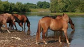 veulen : very many pretty horses, brown, grazing by the river, standing on the shore, drinking water, wag their tails, the stream flows around the wonderful nature, a day, Wide angle, slow motion