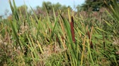 wind : dried rush and reed cattails swamp grass high the nature landscape outdoors Stock Footage