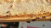 imkerei : Honey bees crawl on honeycombs. A honeycomb full of honey