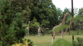 girafa : zoological gardens, very beautiful nature, lots of trees and bushes, walking three giraffes and eating grass from trough on pole, around fence, summer day Sunny weather, slow motion Vídeos