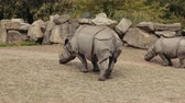 zambia : zoological gardens, very beautiful nature, a lot of trees and bushes, walking two rhinos eat small grass, around the fence of large stones summer day clear weather, slow motion Stock Footage