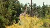 giraffe : zoo, very beautiful nature, a lot of trees and bushes, giraffe walks and eats grass from trough on pole, around fence, birds fly, summer day Sunny weather, slow motion