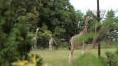 zsiráf : zoo, very beautiful nature, lots of trees and bushes, walking three giraffes and eating grass from trough on pole, around fence, summer day Sunny weather, slow motion