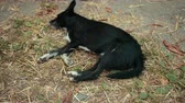 hound : Black small stray dog with white paws and chest sleeps. Animal lies outside on hay, grass on ground resting, calmly dreaming, not moving. Video shot closeup.