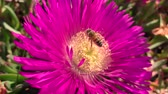 фуксия : Bee lands on pink flower covered in pollen close macro Стоковые видеозаписи