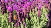 фуксия : Bees on purple lavender gathering nectar DOF Стоковые видеозаписи