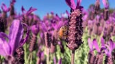 фуксия : Single Bee on purple lavender gathering nectar for hive